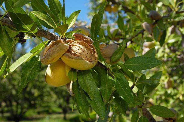 Close-up of Ripening Organic Almonds on Tree:スマホ壁紙(壁紙.com)