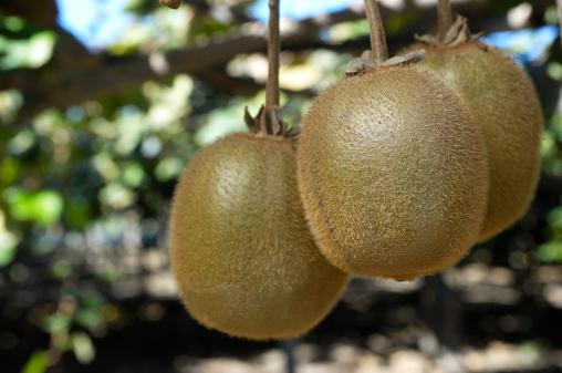 Kiwi「Close-up of Organic Kiwi Fruit on Vines」:スマホ壁紙(15)