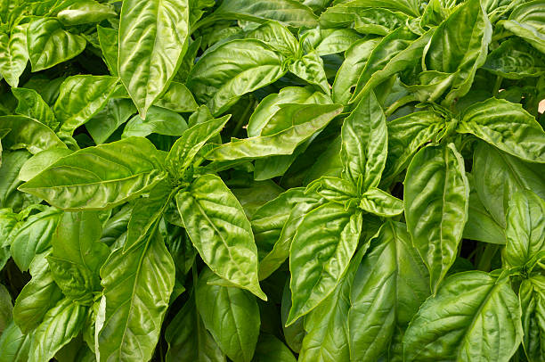 Close-up of Organic Basil Plants:スマホ壁紙(壁紙.com)