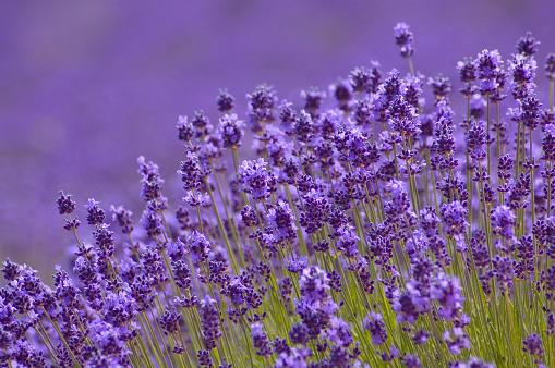 Hokkaido「Close-up of Lavender background in Hokkaido Japan」:スマホ壁紙(4)