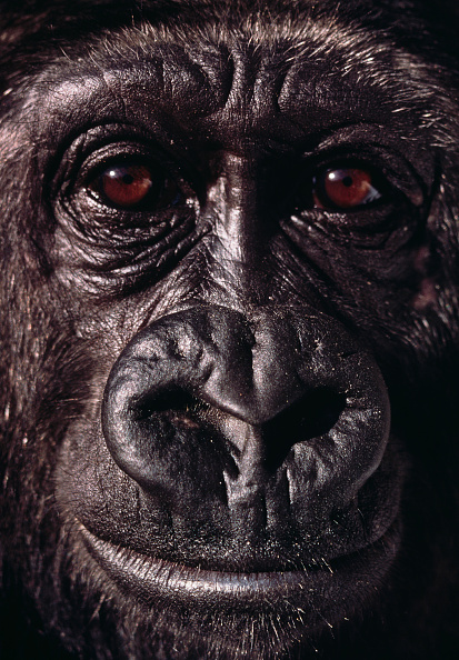 Close-up「Gorilla」:写真・画像(8)[壁紙.com]
