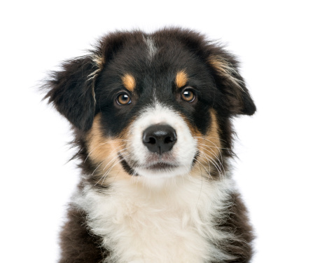 Animal Whisker「Close-up of an Australian Shepherd」:スマホ壁紙(0)