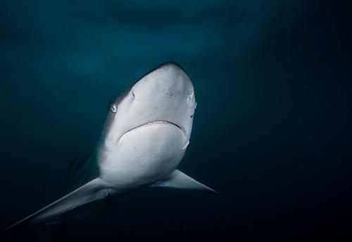 Blacktip Shark「Close-up of a Blacktip shark, KwaZulu-Natal, South Africa」:スマホ壁紙(7)