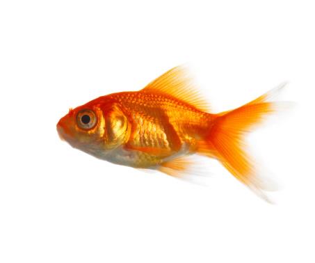 Carp「Close-up of a Goldfish」:スマホ壁紙(9)