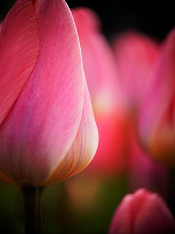 Keukenhof Gardens「Close-up of pink tulip (Tulipa) in Keukenhof Garden, Lisse, South Holland, Netherlands」:スマホ壁紙(18)