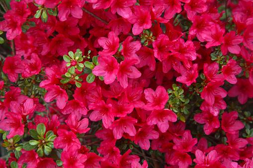 Azalea「Close-up of pink azalea flowers filling frame.」:スマホ壁紙(19)