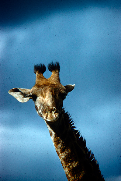 野生動物「Giraffe In Tanzania」:写真・画像(6)[壁紙.com]