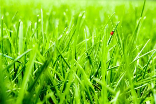 Ladybug「Close-up of green grass lawn with little ladybug walking」:スマホ壁紙(10)