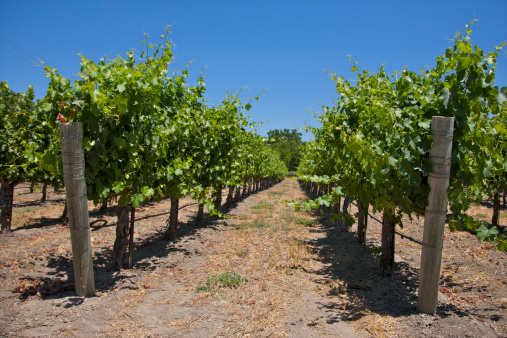 Natural Condition「Close-up of converging grapevine rows.」:スマホ壁紙(0)