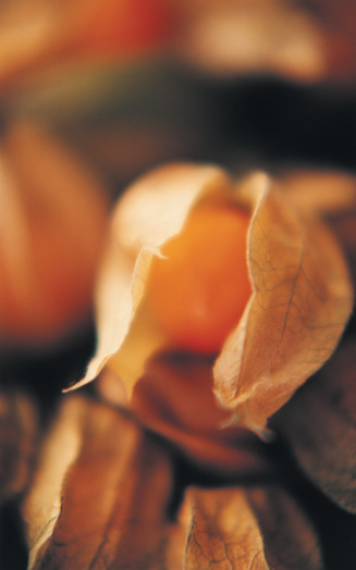 Chinese Lantern「Close-up of Chinese lantern」:スマホ壁紙(11)