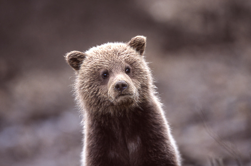 Brown Bear「Close-up of Wild Grizzly Bear Cub」:スマホ壁紙(10)