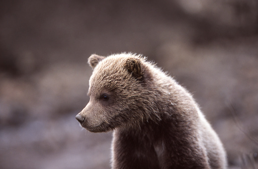 Brown Bear「Close-up of Wild Grizzly Bear Cub」:スマホ壁紙(12)