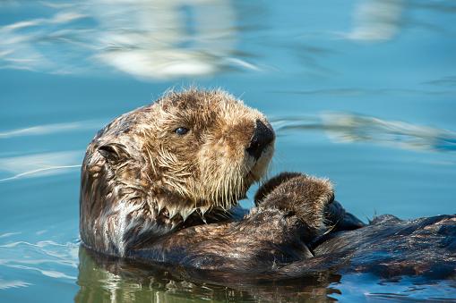 Aquatic Mammal「Close-up of Wild Sea Otter Resting in Calm Ocean Water」:スマホ壁紙(1)