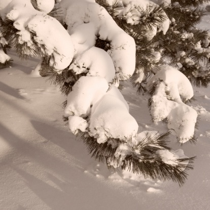 Needle - Plant Part「Closeup of snow covered pine boughs」:スマホ壁紙(12)