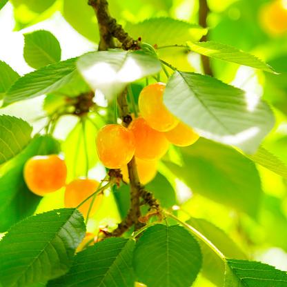 桜「Close -up of Ripening チェリーズの木」:スマホ壁紙(11)