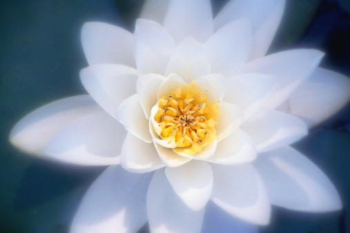Water Lily「Close-up of white water lily」:スマホ壁紙(16)