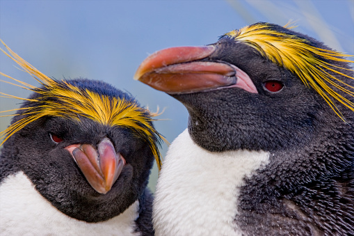 Beak「Close-up of two Macaroni Penguins (Eudyptes chrysolophus), Cooper Bay, South Georgia Island, Antarctica」:スマホ壁紙(3)