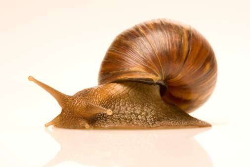 snails「Close-up of edible snail (Helix pomatia)」:スマホ壁紙(15)