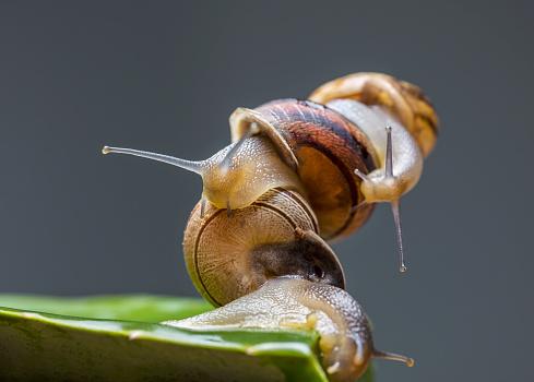 カタツムリ「Close-up of snails mating over gray background」:スマホ壁紙(19)