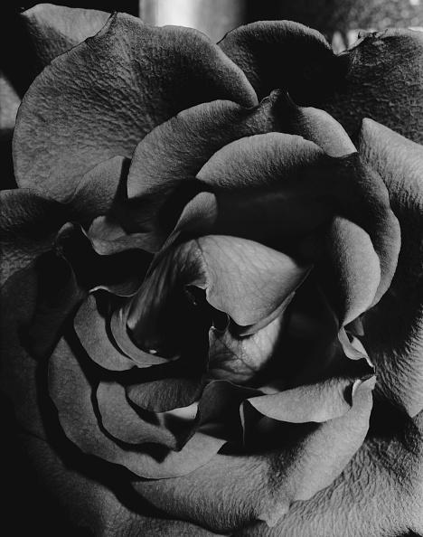 Petal「Rose Petals」:写真・画像(0)[壁紙.com]