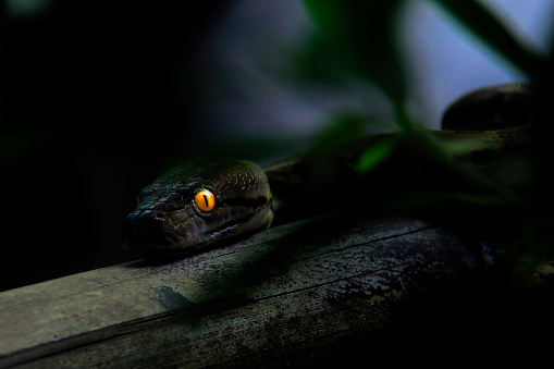 Animal Eye「Close-up of a python with glowing eyes at night, Indonesia」:スマホ壁紙(15)