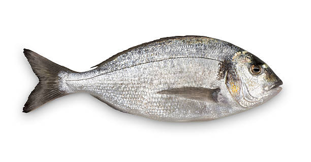 Close-up of fresh Sea Bream against white background:スマホ壁紙(壁紙.com)