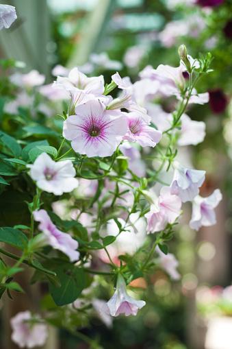 ペチュニア「Close-up of petunias, blooming flowers」:スマホ壁紙(6)
