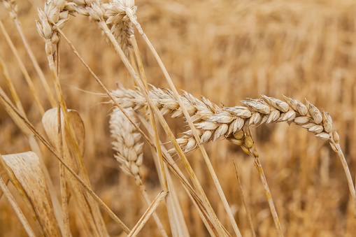 Camino De Santiago「Close-up of Wheat (Triticum spp.) field, La Rioja, Spain」:スマホ壁紙(1)