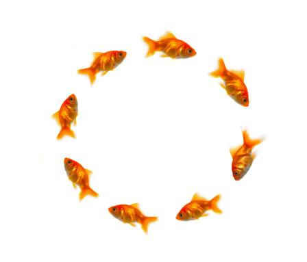 Carp「Close-up of goldfish in a circle」:スマホ壁紙(6)