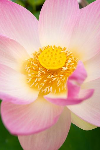 Lotus Water Lily「Close-Up of Sacred Lotus flower (Nelumbo nucifera), The Conservatory and Botanical Gardens, Geneva, Geneva Canton, Switzerland.」:スマホ壁紙(19)