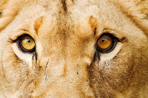 Lioness - Feline「Close-Up of a Lioness」:スマホ壁紙(18)
