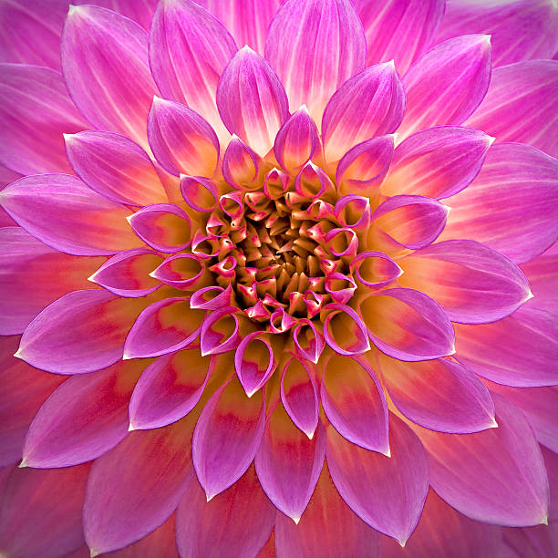 Close-up of pink dahlia flower:スマホ壁紙(壁紙.com)