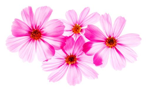コスモス「コスモスの花」:スマホ壁紙(18)