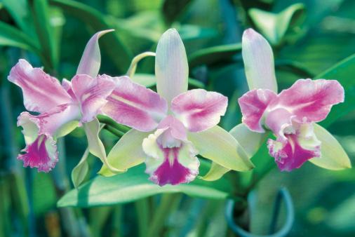 Nadi「Close-up of Orchid flowers, Garden of the Sleeping Giant, Viti Levu Island, Nadi, Fiji」:スマホ壁紙(6)