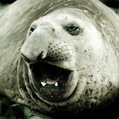 Sea Lion「Close-up of Elephant Seal, Toned」:スマホ壁紙(10)
