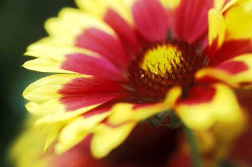 Goblin「Close-up of red and yellow Blanket Flower (Gaillardia Goblin)」:スマホ壁紙(8)