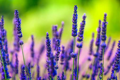 French Lavender「Close-up of lavender flowers in a field」:スマホ壁紙(2)