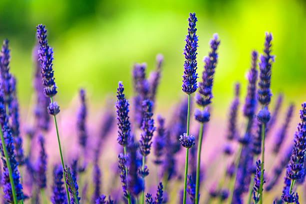 Close-up of lavender flowers in a field:スマホ壁紙(壁紙.com)