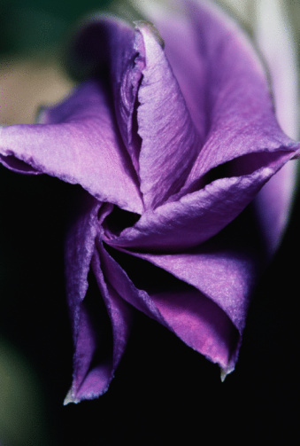 朝顔「Close-up of purple flower of morning glory folded」:スマホ壁紙(9)