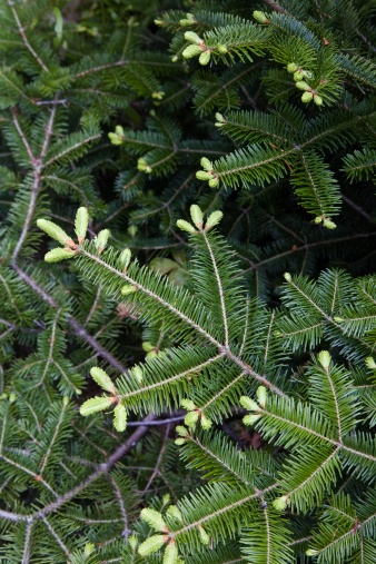 Needle - Plant Part「Close-up of pine tree branch」:スマホ壁紙(9)