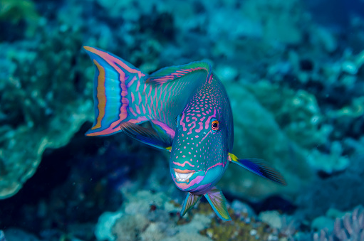 ソロモン諸島「Close-up of parrotfish (Cetoscarus bicolor), Solomon Islands」:スマホ壁紙(17)