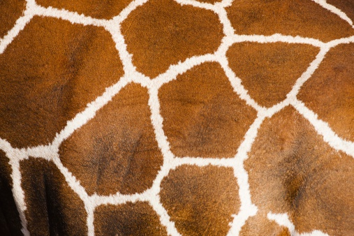 Giraffe「Close-up of the fur on a Reticulated giraffes (Giraffe camelopardalis) Samburu, Kenya」:スマホ壁紙(3)