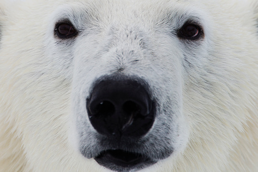 Polar Bear「Close-up of the face of an adult polar bear」:スマホ壁紙(2)