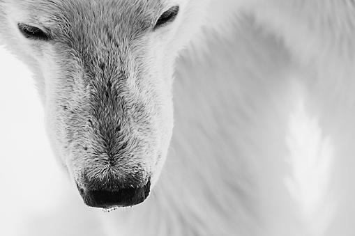 Polar Bear「Close-up of the face of an adult polar bear, black and white」:スマホ壁紙(3)