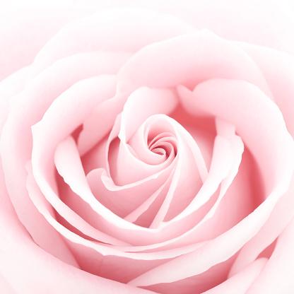 バラ「繊細なピンクのバラ」:スマホ壁紙(17)