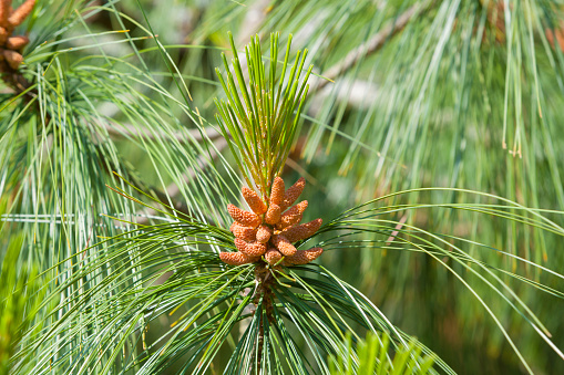 Nouvelle-Aquitaine「Close-Up of Pine Cone on Tree」:スマホ壁紙(0)