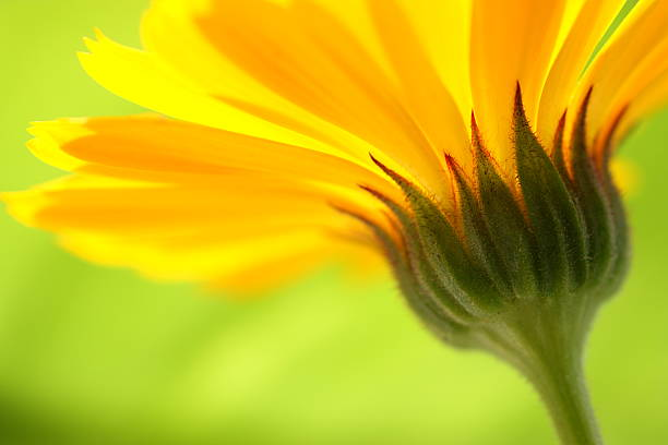 Closeup of the stem of a yellow daisy with green background :スマホ壁紙(壁紙.com)