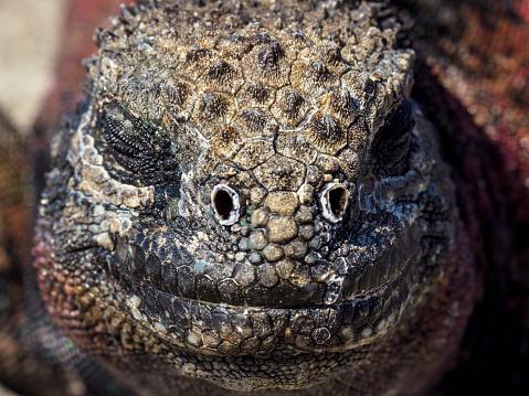 Dragon「Close-up Of Galapagos Marine Iguana」:スマホ壁紙(11)