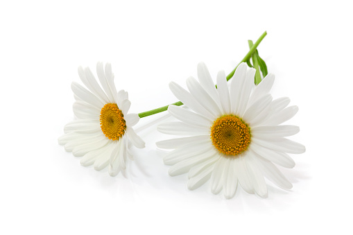 Marguerite - Daisy「Close-up of two white daisies with stems on white background」:スマホ壁紙(19)