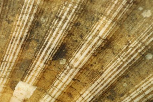 Scalloped - Pattern「Close-up of seashell」:スマホ壁紙(14)
